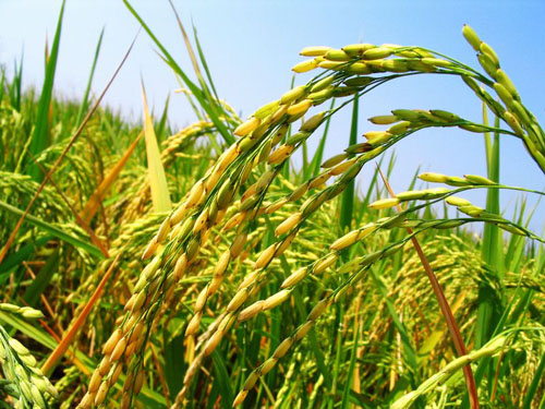 Complete Sets of Rice Mill Plant Export to Kenya